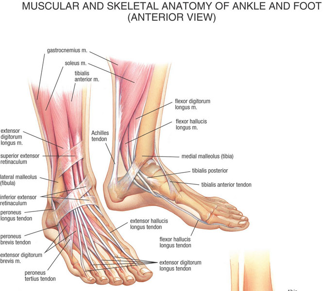 Ankle and Foot c    Ti...
